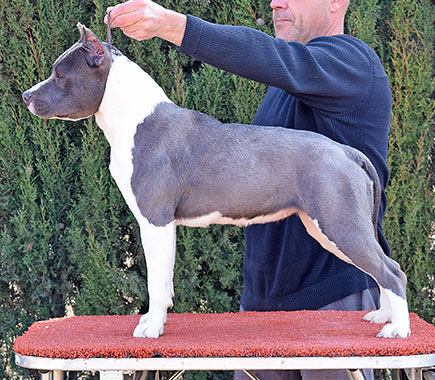 american-staffordshire-terrier-pernales-simba-amstaff-perro
