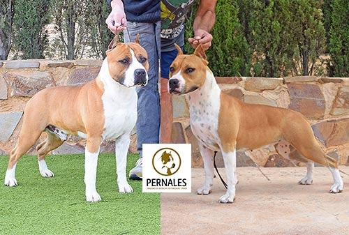american-staffordshire-terrier-pernales-stanfford-amstaff-padres