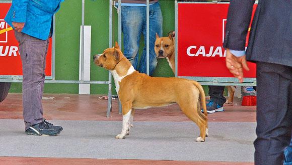 american-staffordshire-terrier-pernales-thalia-amstaff-perros-cridero-alicante.