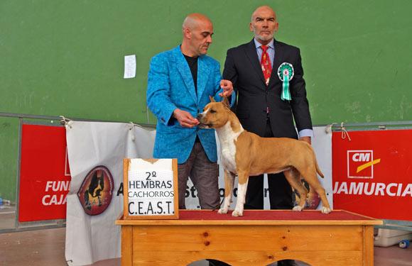 american-staffordshire-terrier-pernales-thalia-amstaff-perros-cridero-alicante