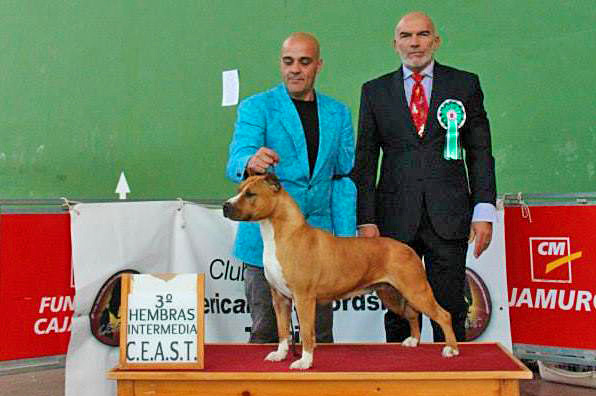 american-staffordshire-terrier-pernales-thalia-amstaff