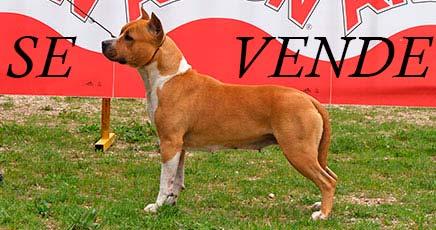american-staffordshire-terrier-pernales-thalia-criadores-perros-amstaff