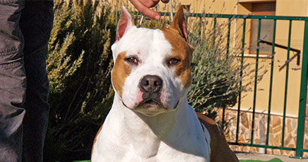 american-staffordshire-terrier-pernales-white-whidow-perros-amstaff