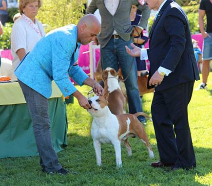 american-staffordshire-terrier-pernales-white-widow-perros-amstaff-criadero-perros-raza-alicante--amstaff