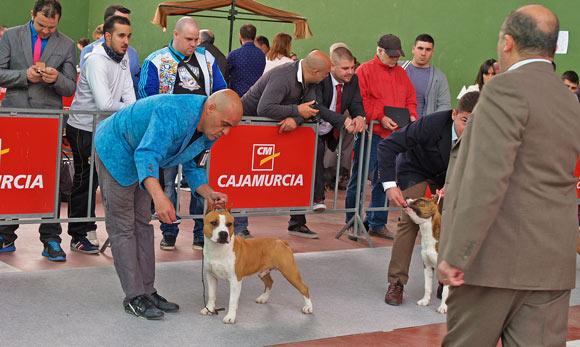 american-staffordshire-terrier-pernalesphuket-amstaff-perros-cridero-alicante.