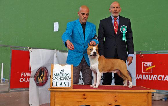 american-staffordshire-terrier-pernalesphuket-amstaff-perros-cridero-alicante