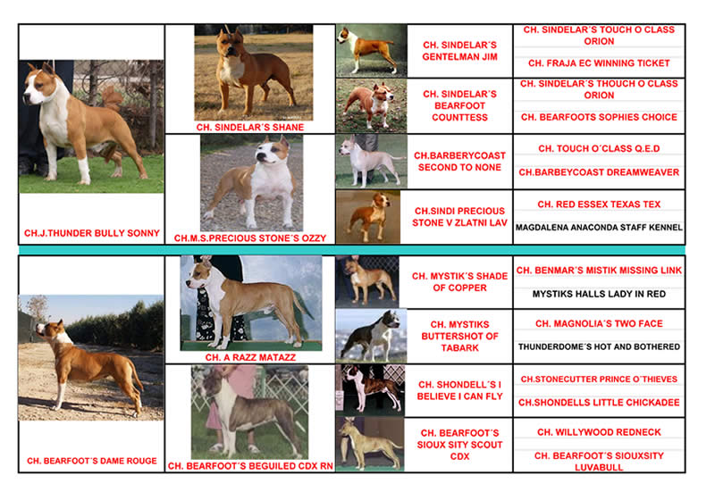American Staffordshire Terrier | Pedigree Pernales Thunder Budha Gold | AMSTAFF