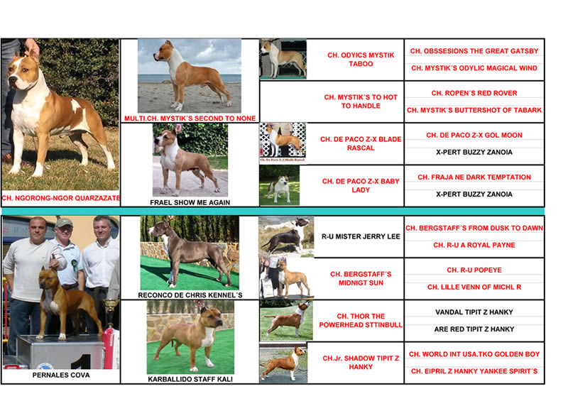 American Staffordshire Terrier | Pedigree Pernales RED BEAD | Cachorros Criador Hembras AMSTAFF