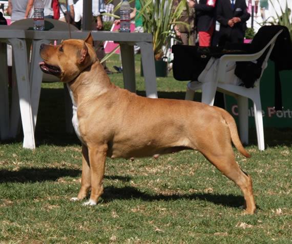 american-staffordshire-terrier-perros-raza--amstaff-pernales-cachorros--criadero