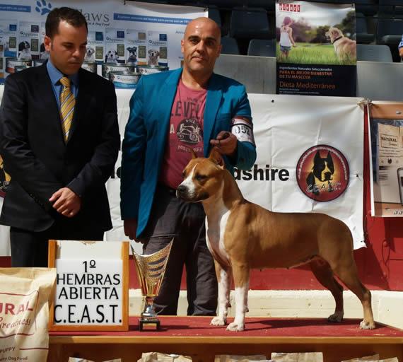 american-staffordshire-terrier-perros-raza-amstaff-pernales-cachorros-perros-raza