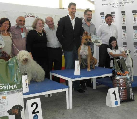 american-staffordshire-terrier-perros-raza-amstaff-pernales-criadero-perros