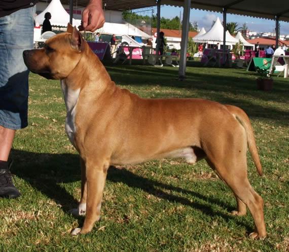 american-staffordshire-terrier-perros-raza-amstaff-pernales-criadero-perros-raza