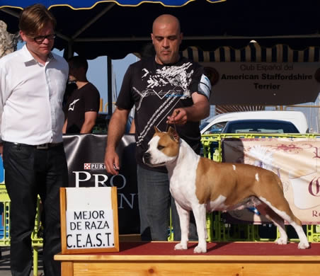 "American Staffordshire Terrier | Multi. CH. Thunder Bully Budha Gold | Campeona CEAST 2011"" title=""American Staffordshire Terrier 