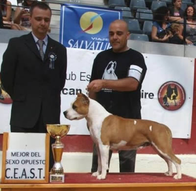 American Staffordshire Terrier | Multi. CH. Thunder Bully Budha Gold | Campeona CEAST 2011