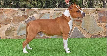 american-staffordshireterrier-pernales-def-con-uno-amstaff-perros-criadores.-alicante