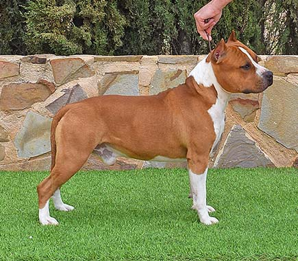 american-staffordshireterrier-pernales-def-con-uno-amstaff-perros-criadores