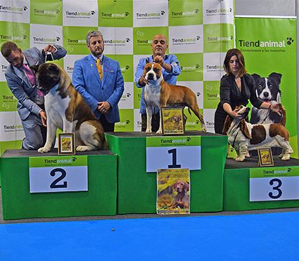 american-taffordshire-terrier-pernales-def-con-dos-amstaffstanfford-macho-comprar-alicante-criadores-perros-raza