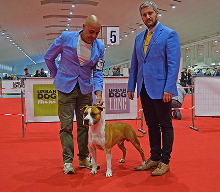 american-taffordshire-terrier-pernales-portos-amstaffstanfford-macho-comprar-alicante-criadores-perros-raza