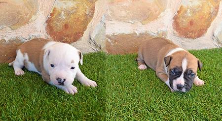 americanstaffordshire-terrier-cachorros-criadores-amstaff-pernales-alicante-show hembras