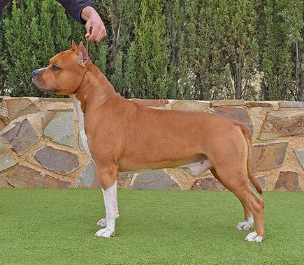 brujo-pernales-amstaff-american-staffordshire-terrier-perros-criadores-amstaff-raza-biar.cachorros.alicante.biar.agustin