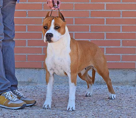 pernales-MEL-de-romer-amstaff-american-staffordshire-terrier-perros-criadores-blue-azul-raza-biar.jpg-
