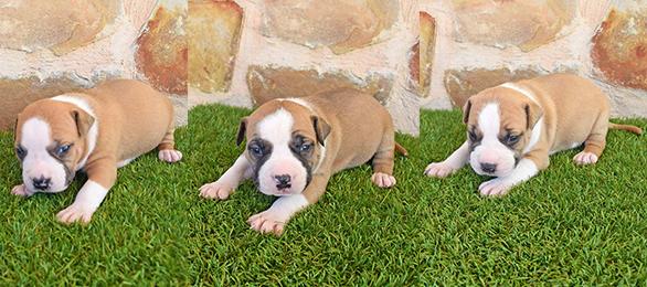 pernales american staffordshire terrier cachorros