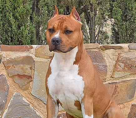 pernales-brujo-amstaff-american-staffordshire-terrier-perros-criadores-,l-raza-biar