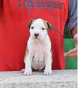 pernales-criador-perros-raza-american-staffordshire-terrier-amstaff-cachorros-comprar-vender.alicante.valencia.biar.