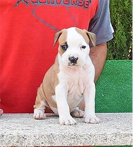 pernales-criador-perros-raza-american-staffordshire-terrier-amstaff-cachorros-comprar-vender