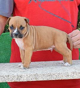 pernales-criador-perros-raza-american-staffordshire-terrier-amstaff-cachorros-comprar-venter.alicante