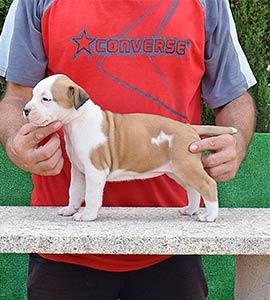 pernales-criador-perros-raza-american-staffordshire-terrier-amstaff-cachorros-comprar-venter.alicante.valencia.hembra.blue.blanca.roja
