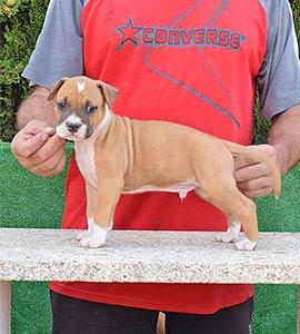 pernales-criador-perros-raza-american-staffordshire-terrier-amstaff-cachorros-comprar-venter.alicante.valencia
