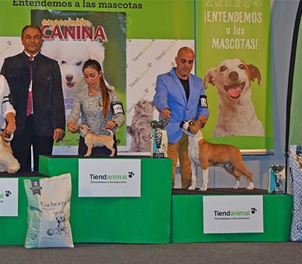 pernales-def-con-dos-amstaff-criadores-american-staffordshire-terrier