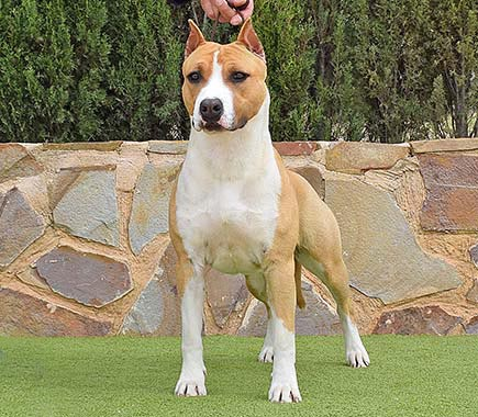 pernales-def-indian-painted-amstaff-american-staffordshire-terrier-perros-criadores-,l-raza-biar