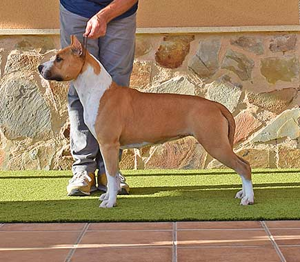 pernales-indian-painted-american-staffordshire-terrier-amstaff-perros-criadores-stanfford-show-biar-alicante