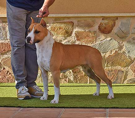 pernales-indian-painted-american-staffordshire-terrier-amstaff-perros-criadores-stanfford-show-biar