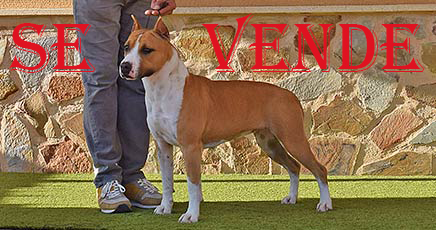 pernales-indian-painted-american-staffordshire-terrier-amstaff-perros-criadores-stanfford-show