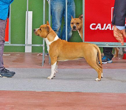 pernales-thalia-american-staffordshire-terrier-amstaff-criadores-perros-alicante