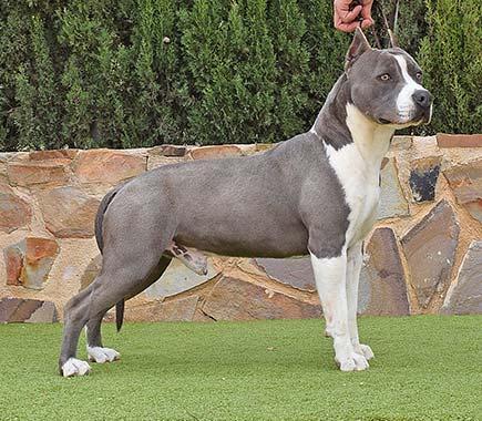pernales-tito-de-cavafria-amstaff-american-staffordshire-terrier-perros-criadores-blue-azul-raza-biar