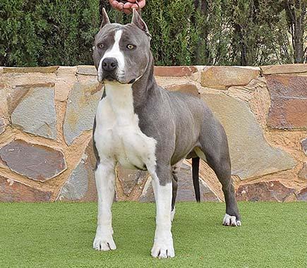 pernales-tito-de-cavafria-amstaff-american-staffordshire-terrier-perros-criadores-blue-azul-raza