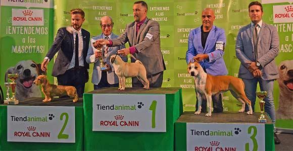 pernales-vaiana-american-staffordshire-terrier-amstaff-perros-criadores-stanfford-show-cachorros-3-bis