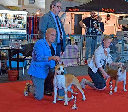 pernales-vaiana-american-staffordshire-terrier-amstaff-perros-criadores-stanfford-show-biar